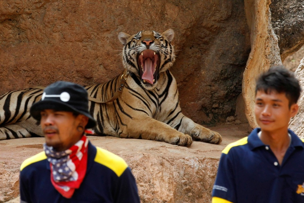 A tiger yawns before the officials start moving them from Tiger Temple, May 30, 2016. Officials from the Department of National Parks, Wildlife and Plant Conservation said they planned to confiscate and remove more tigers from the temple on Tuesday and send them to a state-owned sanctuary.