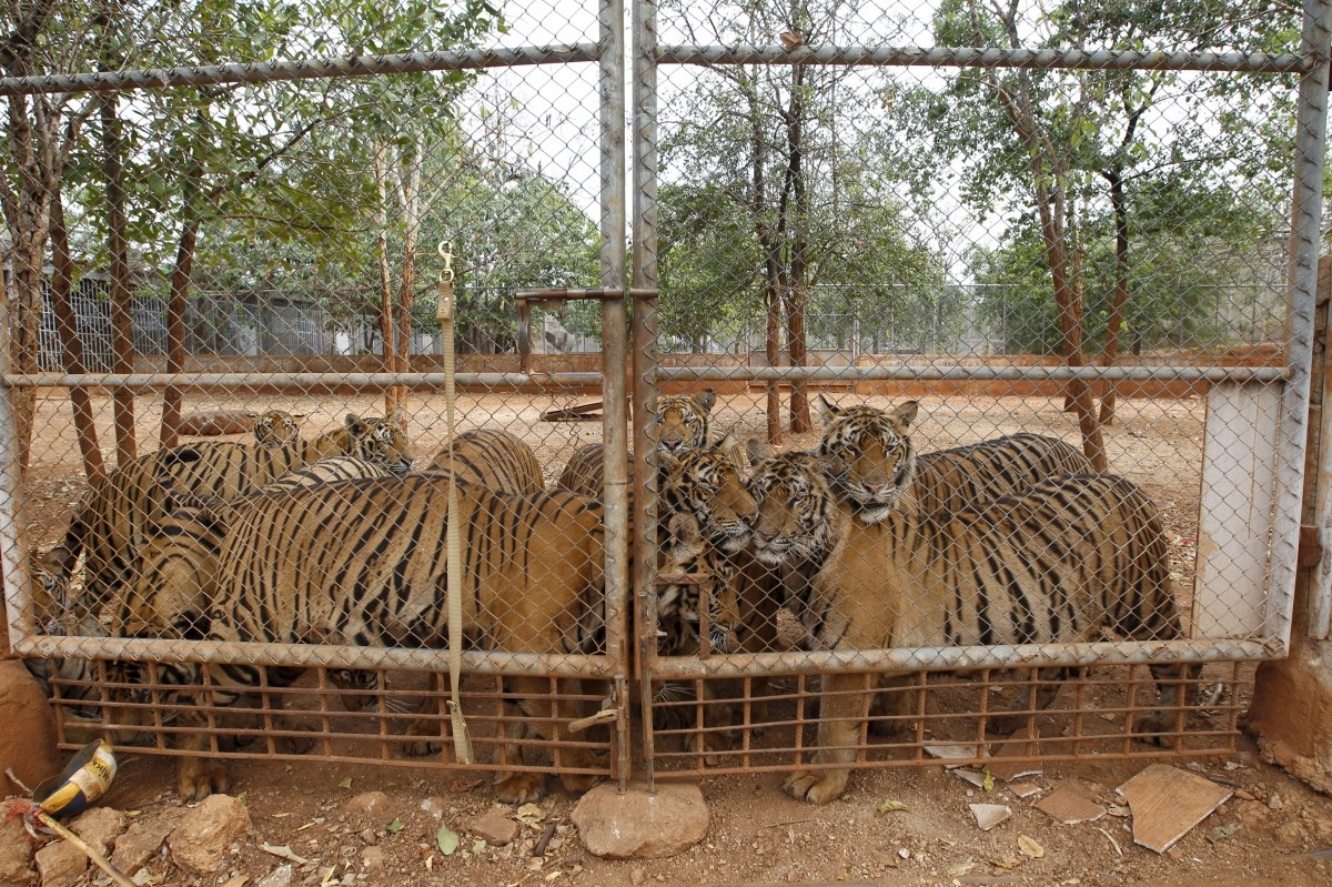 Tigers are seen behind a fence at the Tiger Temple, February 25, 2016.