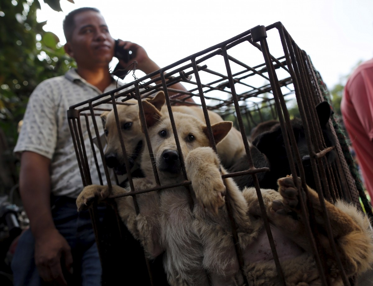 Dogs are kept in a cage at Dashichang dog market ahead of a local dog meat festival in Yulin, Guangxi Autonomous Region, June 21, 2015. In the market, some dogs are sold as pets, while others are sold for dog meat. Local residents in Yulin host small gatherings to consume dog meat and lychees in celebration of the summer solstice which marks the coming of the hottest days for the festival, which this year falls on Monday.