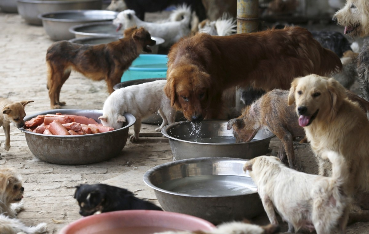 Rescued dogs are seen at a shelter run by Yang Xiaoyun in Tianjin, China, July 8, 2015. Yang said she spent 300,000 RMB (48,248 USD) to purchase 500 dogs to rescue them from dog meat dealers at Yulin's annual dog meat festival last month. She keeps more than 1,000 dogs in her shelters, mostly abandoned or she purchased from dog meat traders.