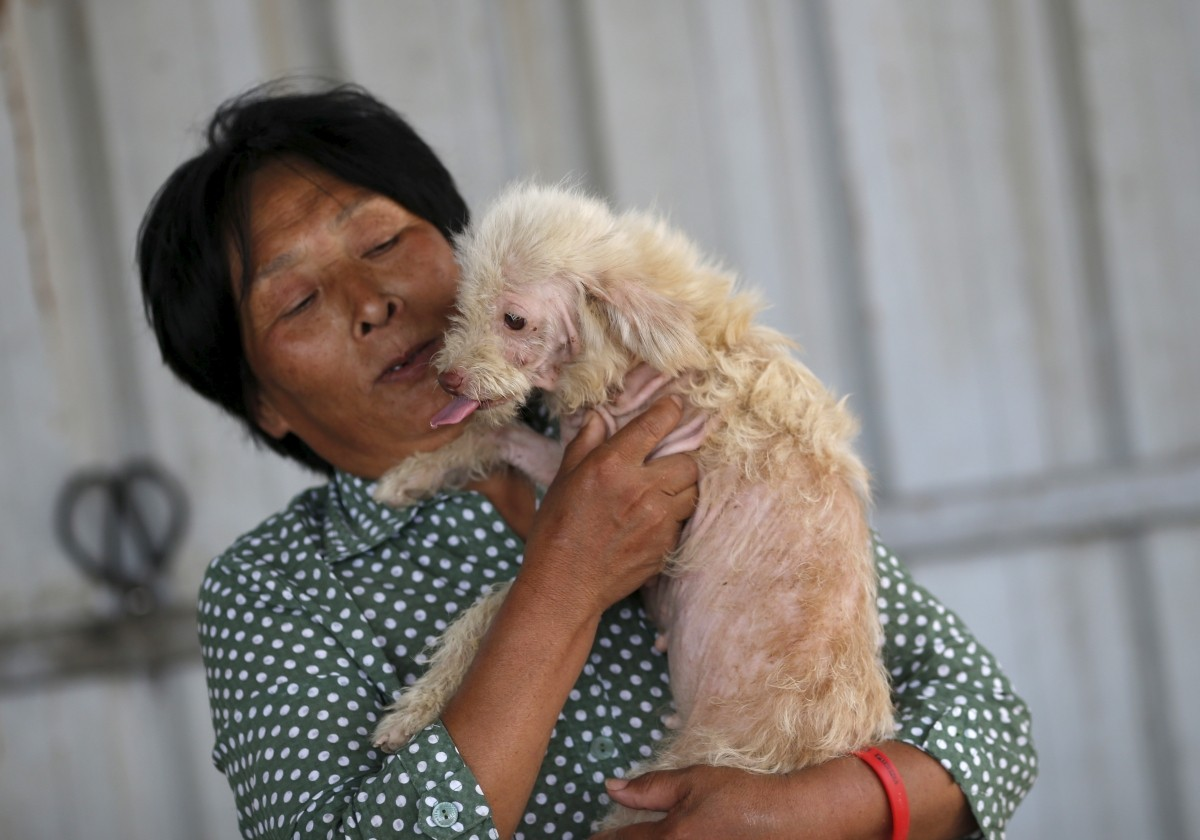Dog lover Yang Xiaoyun holds a dog which she purchased in China's southern town of Yulin, at her shelter for dogs in Tianjin, China, July 8, 2015. Yang said she spent 300,000 RMB ( 48,248 USD) to purchase 500 dogs to rescue them from dog meat dealers at Yulin's annual dog meat festival last month. She keeps more than 1,000 dogs in her shelters, mostly abandoned or she purchased from dog meat traders.