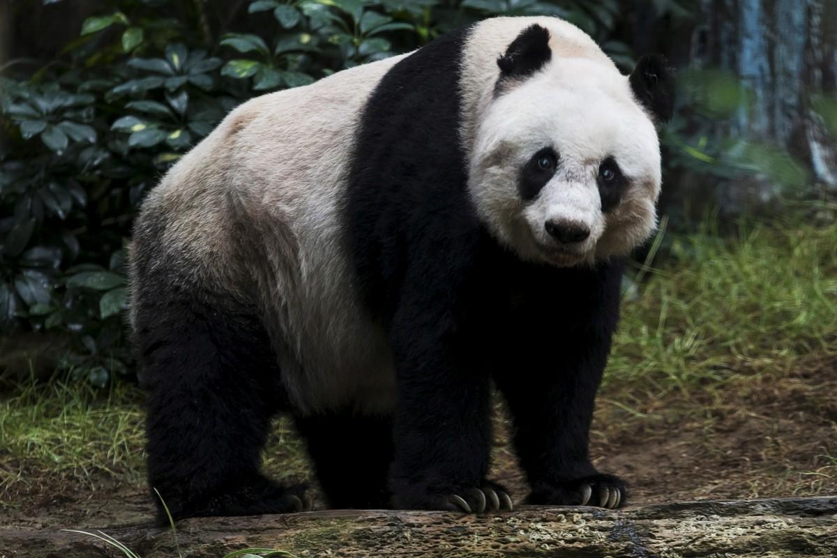 Jia Jia Panda