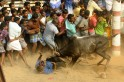 Jallikattu ban: Thousands protest across Tamil Nadu; state Govt promises to hold bull-taming sport
