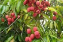 Bihar is India's top litchi-producing state