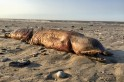 'Loch Ness-type' sea creature found dead and decomposing on beach [Video]