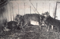 Scientists may one day clone the Tasmanian tiger and bring it back from the dead