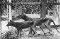 Tasmanian tigers that went extinct 80 years ago can be brought back to life, claim scientists