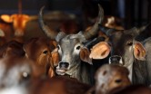 Centre wants cows across India to have Unique Identification Number for tracking!