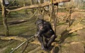 chimpanzee-knocks-drone-out-of-the-air-with-a-stick