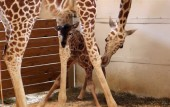April the giraffe gives birth as millions of people watch live-stream video
