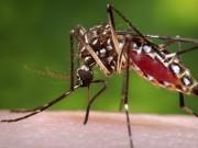 A female Aedes aegypti mosquito, Dengue