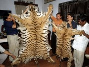 Poachers Tiger