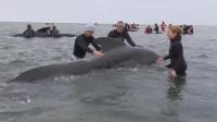 More than 60 beached whales returned to sea