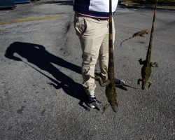 A man carries two cold stunned iguanas that were found near a local pond due to the extreme cold weather in Lake Worth, Florida.