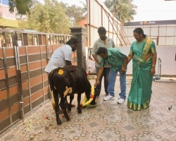 DMDK leader Vijayakanth celebrates Mattu Pongal.