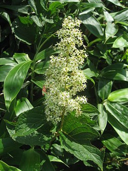 Thunder god vine (tirpterygium wilforii)