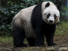 Oldest Giant Panda in Captivity: Jia Jia about to Break Guinness World Record