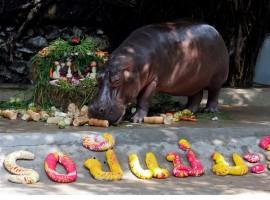 A female hippopotamus named