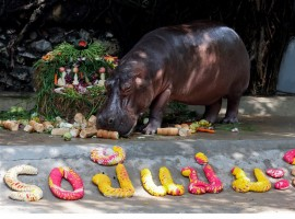 A female hippopotamus named