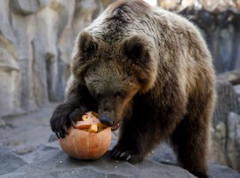 A bear eats a pumpkin during Halloween celebrations at a zoo in Kiev, Ukraine.