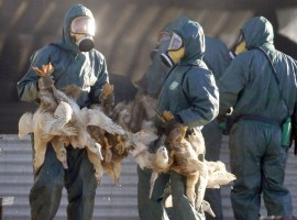 Workers gather ducks to be culled in Latrille, France, January 6, 2017, after France ordered a massive cull of ducks in three regions most affected by a severe outbreak of bird flu as it tries to contain the virus which has been spreading quickly over the past month.
