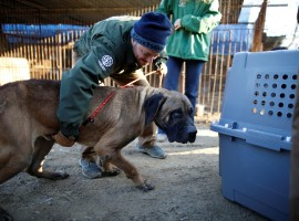 Rescue workers from Humane Society International rescue a dog at a dog meat farm in Wonju.