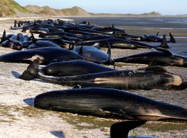 Some of the hundreds of stranded pilot whales marked with an 'X' to indicate they have died can be seen together after one of the country's largest recorded mass whale strandings, in Golden Bay, at the top of New Zealand's South Island, February 10, 2017.