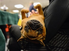 A Brussels Griffon relaxes on its owner's lap backstage at the 141st Westminster Kennel Club Dog Show, in New York City, U.S. February 13, 2017.