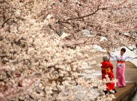 Women in kimonos take photos under the cherry blossoms along the Tidal Basin on a misty morning in Washington, U.S., March 27, 2017.