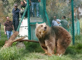 Lola the bear, one of two surviving animals in Mosul's zoo, along with Simba the lion, is seen at an enclosure in the shelter after arriving to an animal rehabilitation shelter in Jordan, April 11, 2017. The last two surviving animals from Mosul's dilapidated zoo arrived this week at an animal shelter in Jordan, after months of malnutrition and a long journey out of Iraq that included being stuck at the border for 12 days.