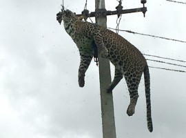 A leopard died of electrocution after it climbed an electricity pole in Mallaram forest area.