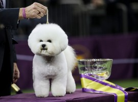 Best in Show winner Flynn, a Bichon Frise, poses for photos at the conclusion of the 142nd Westminster Kennel Club Dog Show at The Piers on February 13, 2018 in New York City. The show is scheduled to see 2,882 dogs from all 50 states take part in this year's competition.