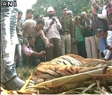 tiger killed in UP