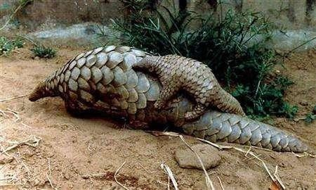 Plight of Pangolin: Highly Trafficked Mammal on Land Need More Protection