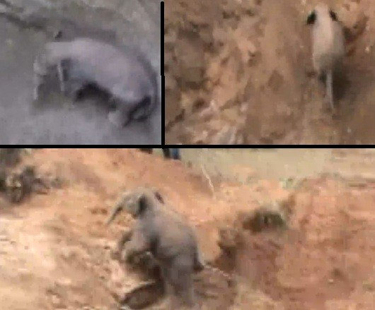 Baby elephant trapped inside 30 feet well rescued