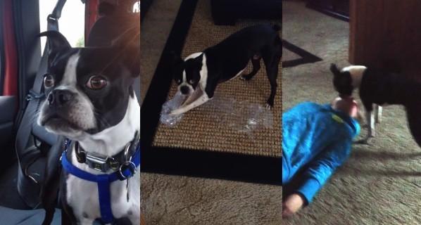 Bruce the Boston terrier