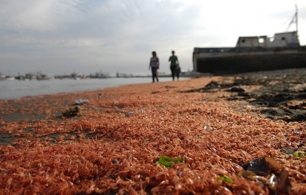 Thousands of prawns washed up dead on Chilean beach