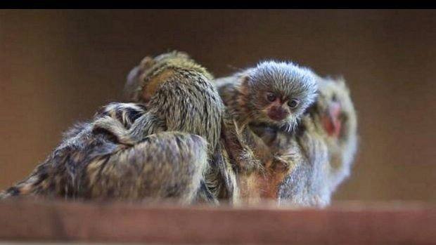 Pygmy Marmosets stolen from Symbio Wildlife Park