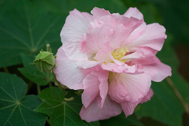 Hibiscus Mutabilis, Changing Rose