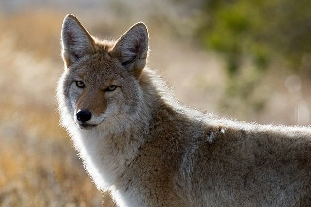 Coyote that bit several people was rabid, police say
