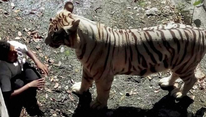 White Tiger Kills boy