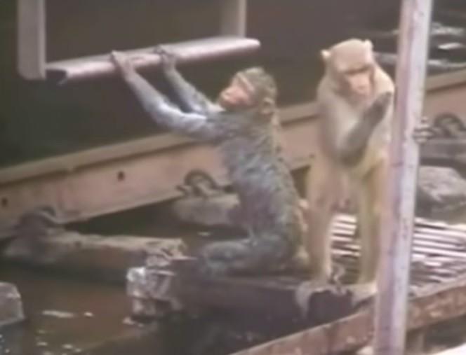 Hero Monkey rescuing his friend
