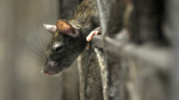 Rats blamed for disappearance of seized booze