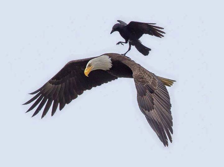 Crow Rides Eagle,Crow and Eagle,rare photos,Amazing photos,amazing photography