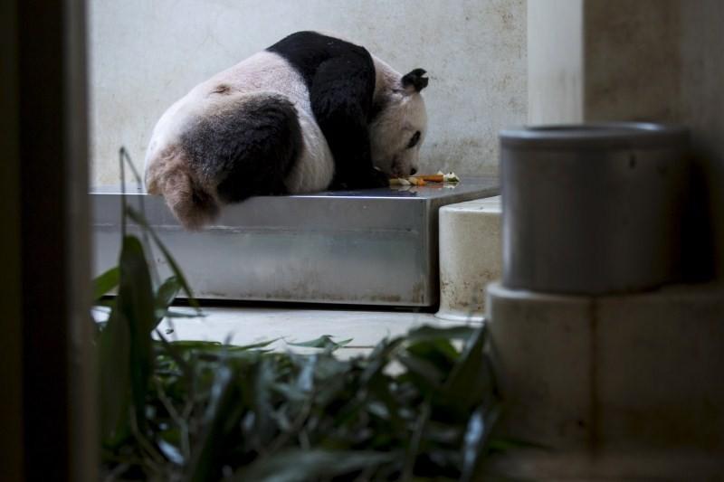 Jia Jia,Oldest Giant Panda,Guinness World Record,world record,panda,big panda,human centenarian,Oldest Panda