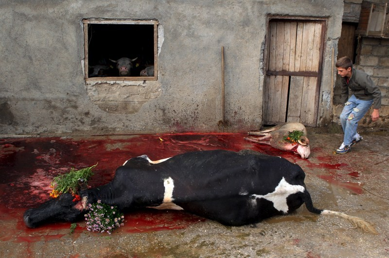 Eid al-Adha,Eid al-Adha 2015,Bakri Eid,Bakri Eid 2015,Bakrid,Bakri Eid celebration,Muslims sacrifice cattle,animal sacrifice,Muslims,Festival of Sacrifice