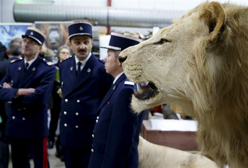 French customs seize stuffed animals,French customs seize animals,Lions,leopards seized,Lions,leopards seized in French,Museum of Natural History,Lions,leopards,French customs