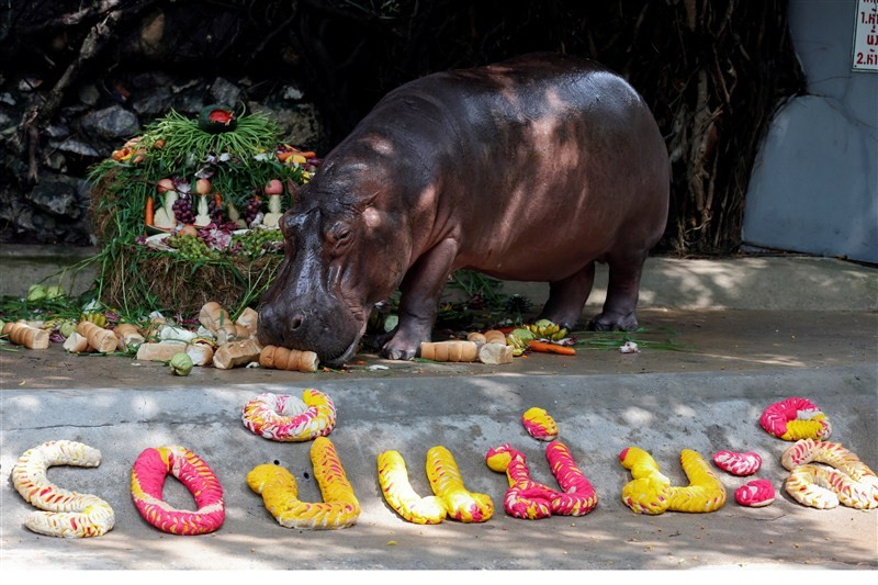 Hippopotamus Mali,Mali celebrates 50th Birthday,Hippopotamus celebrates 50th Birthday,Mali birthday,Mali birthday pics,Mali birthday images,Mali birthday photos,Mali birthday stills,Mali birthday pictures