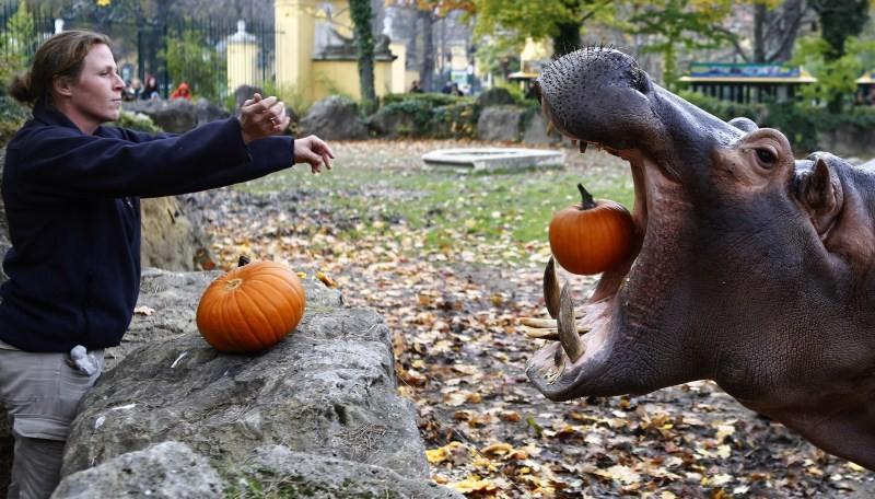 Halloween,Animals with pumpkins,Animals play with pumpkins,Halloween pumpkins