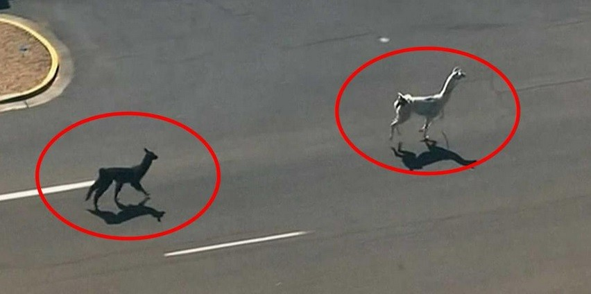 A drama emanating from a live chase of two Llamas on the loose in the streets of Sun City, Arizona captivated the entire nation.
